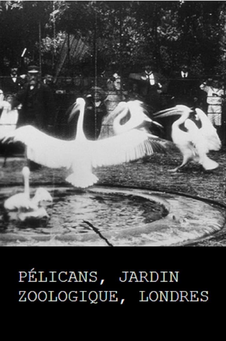 Pelicans, London Zoological Garden