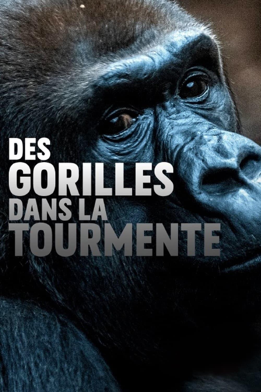 Gorillas unter Stress